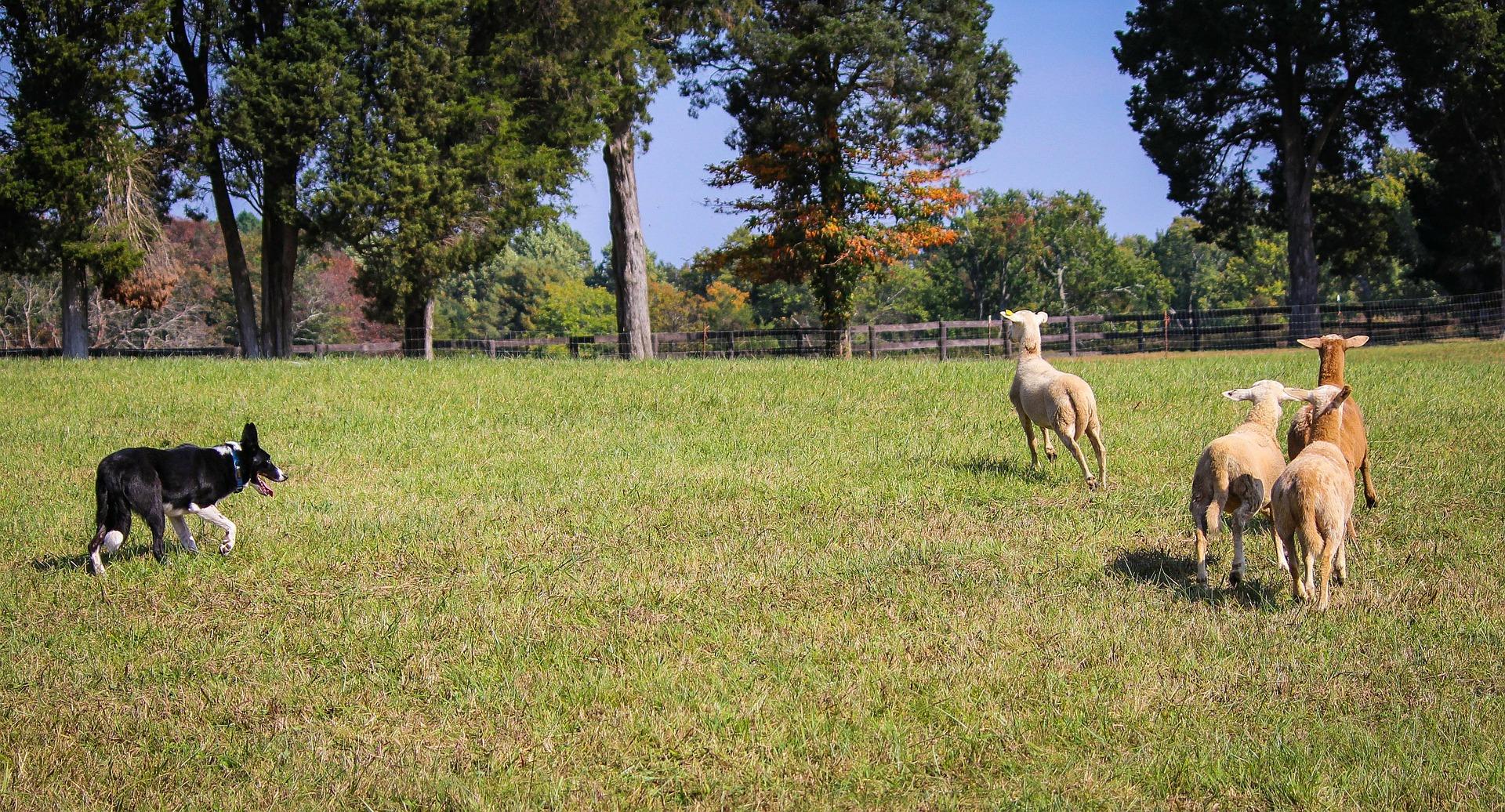Read more about the article Les chiens de troupeau ont le vent en poupe !
